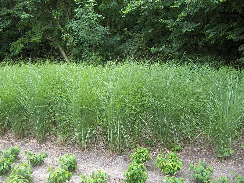 The best ornamental grasses for the northeast and zone 6 for Best tall grasses for privacy