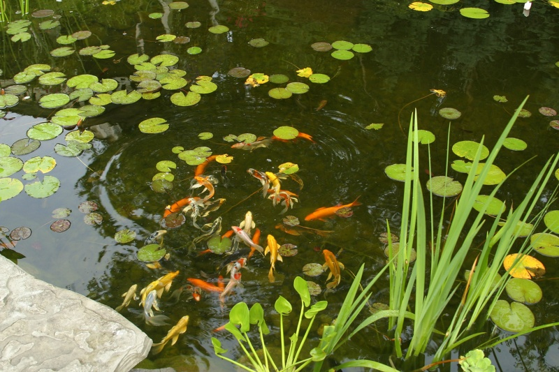 Koi pond design what you need to know before you break ground for Koi fish pond maintenance