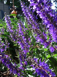 Foundation plantings, such as catmint, can really dress up your property