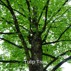 Care for Tulip Trees