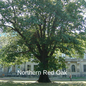 Growing Northern Red Oak